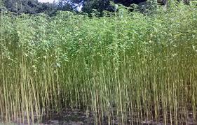 Burying Jute Plants